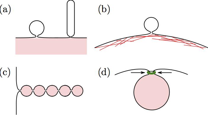 Abb. 4: Verschiedene Systeme, in denen auf Grund von haftfähigen Oberflächen (pink) oder Kompressionskräften enge Membranhälse ausgebildet werden. (a)