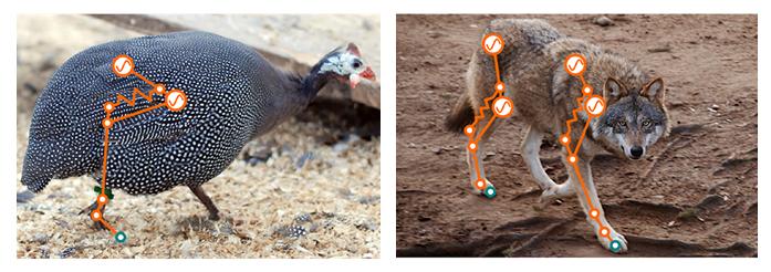 <p><strong>Abb. 1:</strong> Modelltiere in der Biomechanik, überlagert mit einem aktuierten, gefederten pantographischen Beinmodell.</p>