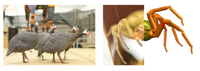 <p><strong>Abb. 4:</strong> Links: Helmperlhühner laufen viel und fliegen nur wenn nötig. Sie sind als zweibeinige Läufer gute Modelltiere für die Lau