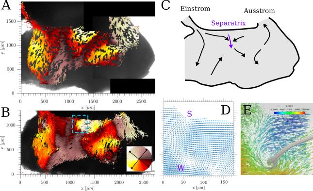 <strong>Abb. 2:</strong> Analyse der Strömungsmuster. In Abbildung A und B werden alle durchlaufenden Pfade der fluoreszierenden Kügelchen zusammenfas