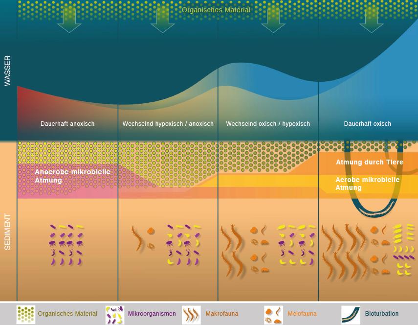 Einfluss von Sauerstoff im Bodenwasser auf das Ökosystem an der nordwestlichen Krim und dem Schwarzmeer-Schelf. Bei andauernd hohen Sauerstoffkonzentr