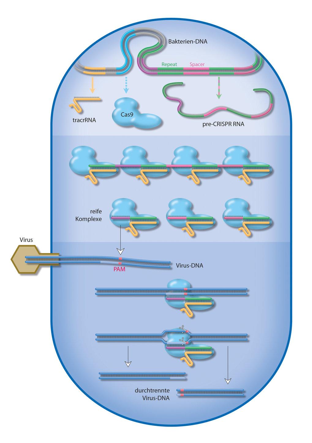 Aufgaben von CRISPR-Cas | Max-Planck-Gesellschaft