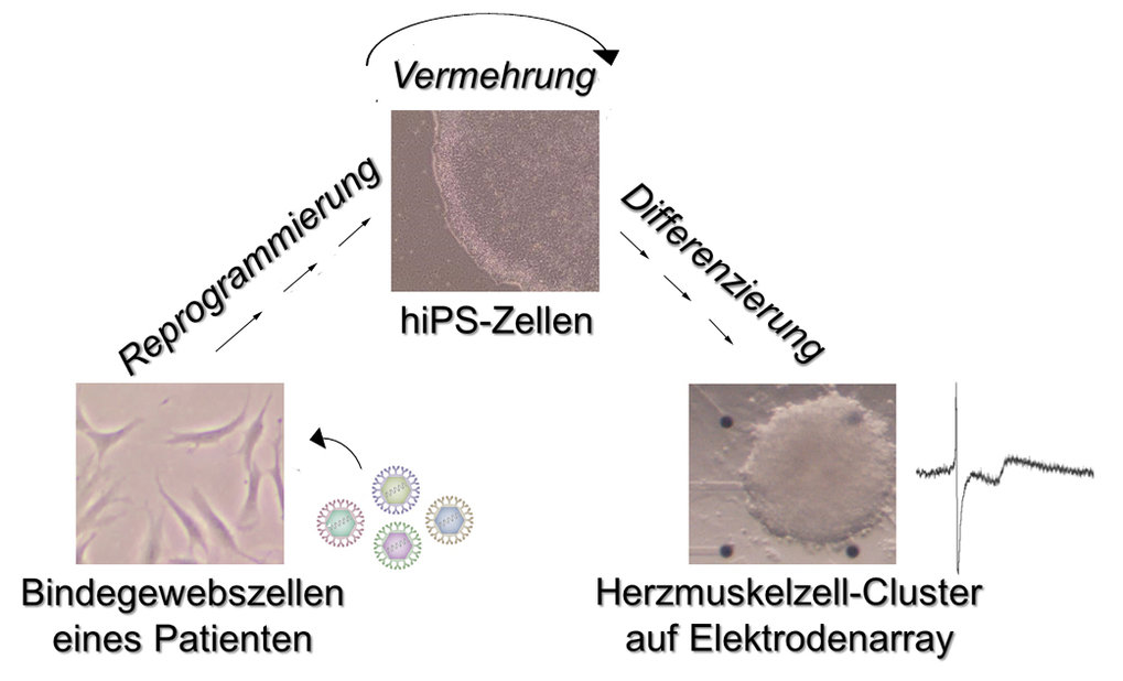 <strong>Abb. 3:</strong><span>iPS-Zellen dienen der patientenspezifischen Krankheitsmodellierung.</span><br /><span>Arbeitsablauf zur Generierung vo