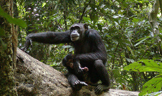 The Wild Chimpanzee Foundation's mission is to enhance the survival of the remaining wild chimpanzee populations and their habitat, thereby participate in saving the behavioural diversity of this fascinating species.