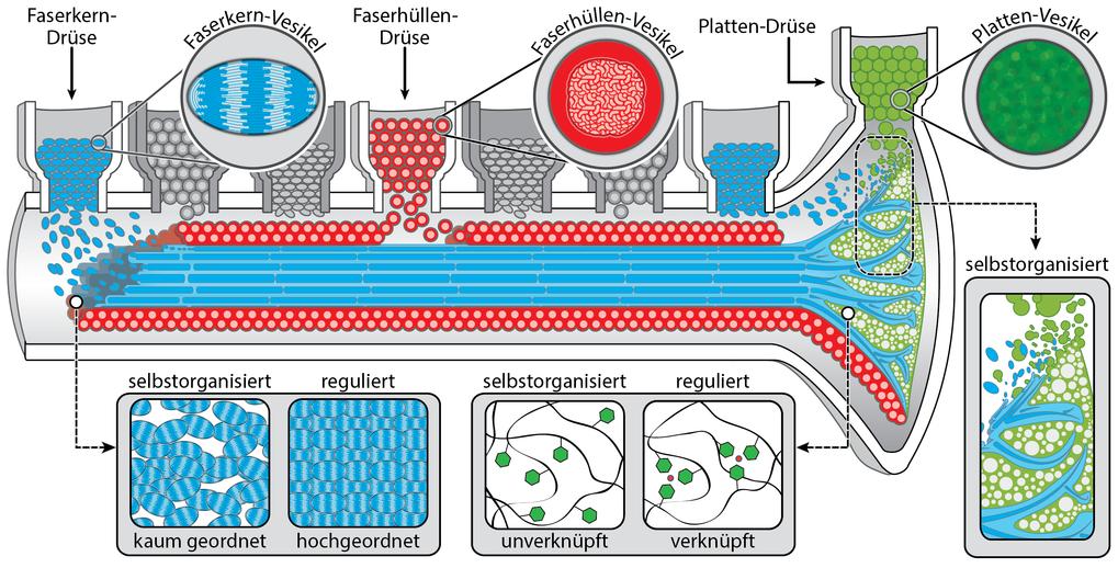 Grüne Chemieproduktion am Meeresgrund: Byssusfäden entstehen in einer feinen Rinne im Muschelfuß, die Platte am Ende des Fadens, die am Meeresboden ha