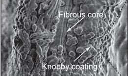 Eisenatome verleihen Muschelfasern eine widerstandsfähige, aber dehnbare Beschichtung