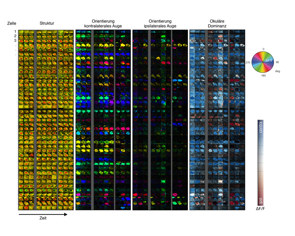 <p><strong>Abb. 1</strong>: Unter dem Mikroskop wird die Aktivität einzelner Nervenzellen der visuellen Großhirnrinde der Maus sichtbar - auch bei ver