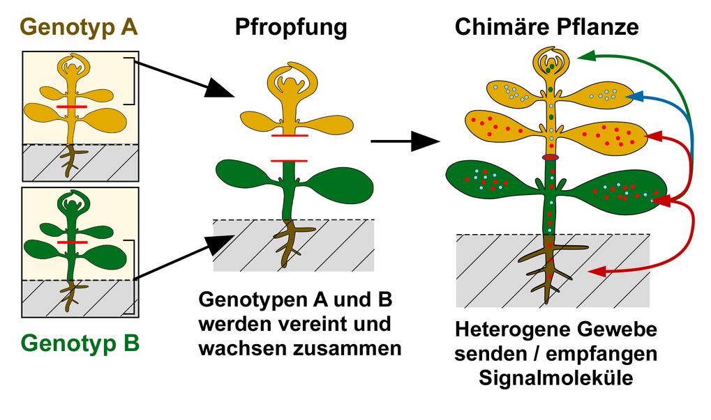 Abb. 2: Pfropfen - meist für die Veredelung von Nutzpflanzen angewendet - vereinigt zwei verschiedene Genotypen. Es entsteht eine Chimäre, innerhalb d