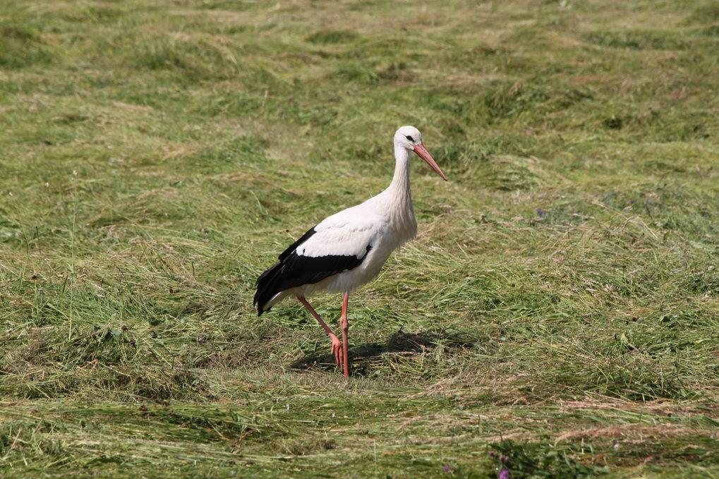 Der Weißstorch findet seine Nahrung vor allem in feuchten, extensiv genutzten Wiesen. Die gibt es jedoch immer seltener: Ehemals feuchtes Grünland wir