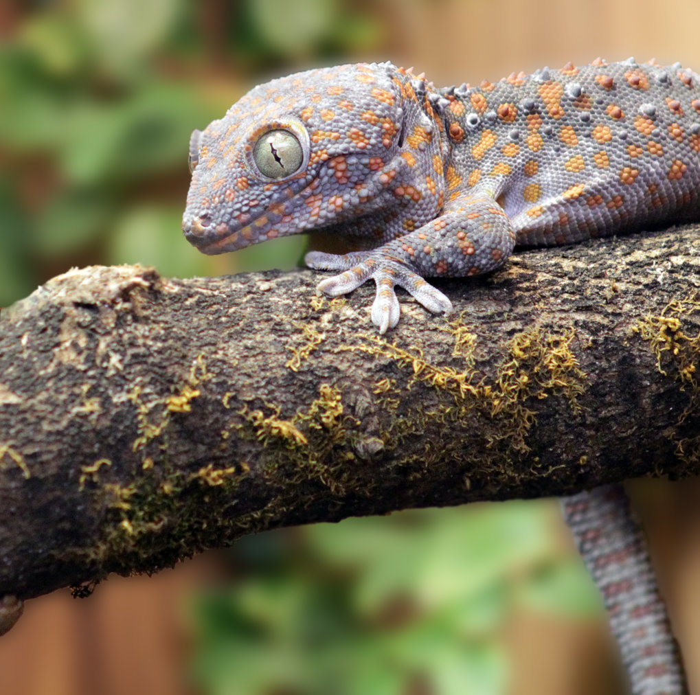 Geckos have a sophisticated vocal communication systems similar to mammals and birds.
