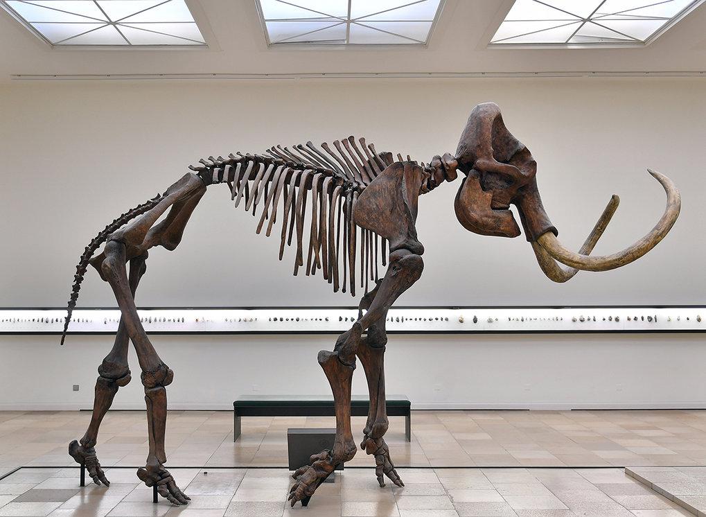 Wie das Mammut starben weltweit viele Großtiere nach der letzten Eiszeit aus. Ihr Verschwinden fällt mit der weltweiten Ausbreitung des Menschen zusam
