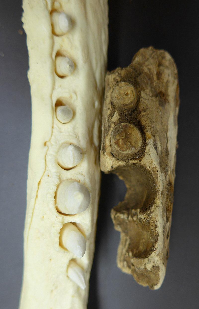 Auf der benachbarten Insel Pemba fand das Team von Nicole Boivin im vergangenen Jahr Überreste einer ausgestorbenen oder ausgerotteten Krokodilart.