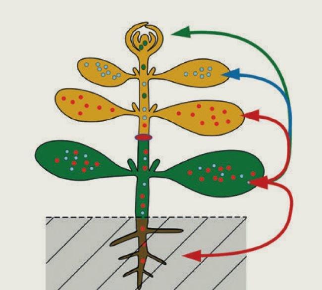 Viele Früchte, die wir essen, stammen von veredelten Pflanzen.