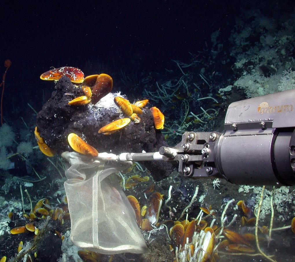 Der Tauchroboter MARUM-Quest sammelt Muscheln, die <em>Cycloclasticus</em>-Symbiosebakterien enthalten, und ölreiche Asphalte an einem Gasaustritt in