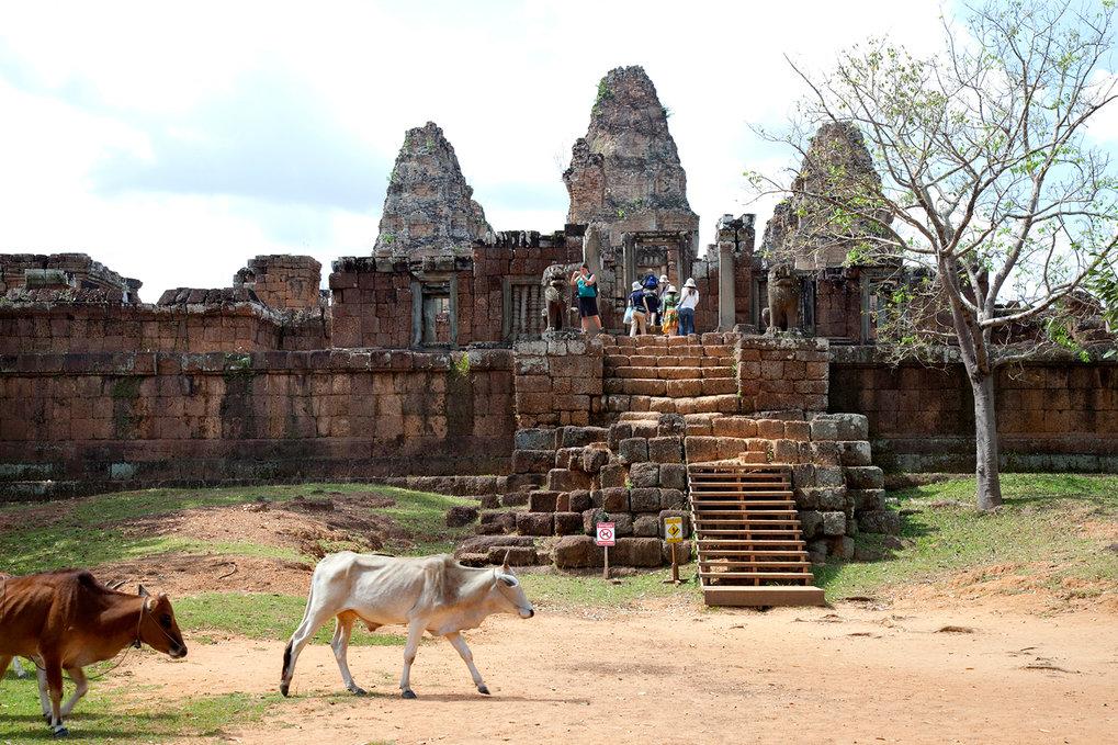 Kühe sind schon lange zu Gast bei den Tempeln von Angkor, der berühmten Welterbe-Stätte in Kambodscha. Die Einheimischen nutzen das Gelände traditione