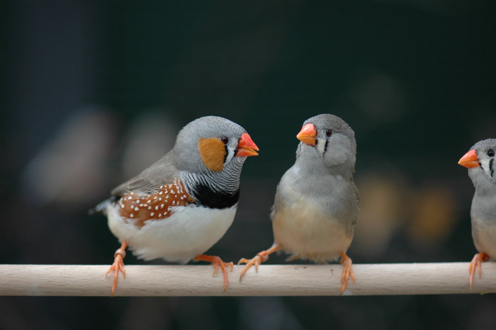 The sex chromosome Z of male zebra finches comes in two variants. Males who possess a copy of these variant each have particular reproductive success.