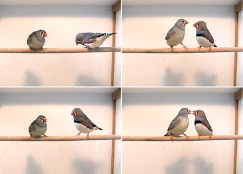 """""""Casanova gene"""" in female songbirds"""