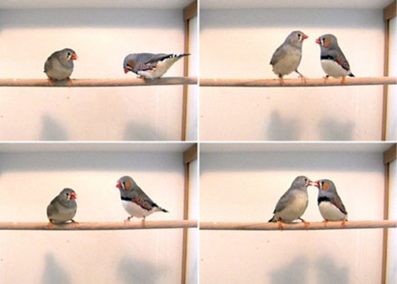 "Female zebra finches inherit ""infidelity gene"" from their fathers"
