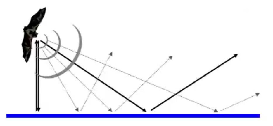 Wenn eine Fledermaus auf eine glatte Oberfläche zufliegt, werden ihre Echoortungslaute zunächst von ihr weg reflektiert. Erst wenn sie sich direkt neb