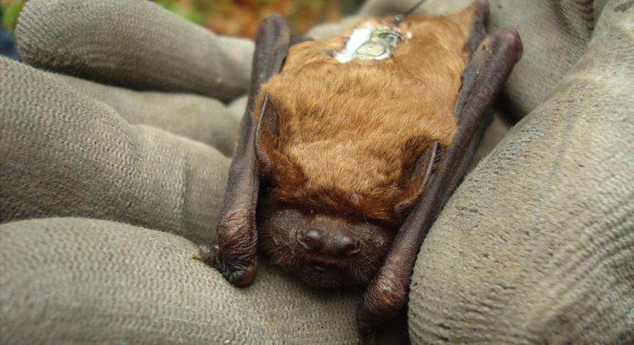 Großer Abendsegler. Der Mini-Sender auf dem Rücken der Tiere verrät den Forschern die Position der Tiere.
