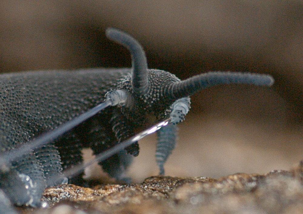 Schleimige Jagdwaffe: Stummelfüßer, die wie Würmer mit kurzen Beinchen aussehen, fangen ihre Beutetiere mit einem Sekret, aus dem sich Polymerfasern b