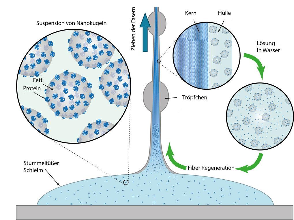Recycelbare Polymerfasern: Der Schleim von Stummelfüßern enthält Nanokugeln aus Fetten und Proteinen. Scherkräfte bewirken, dass die Proteine Fasern b