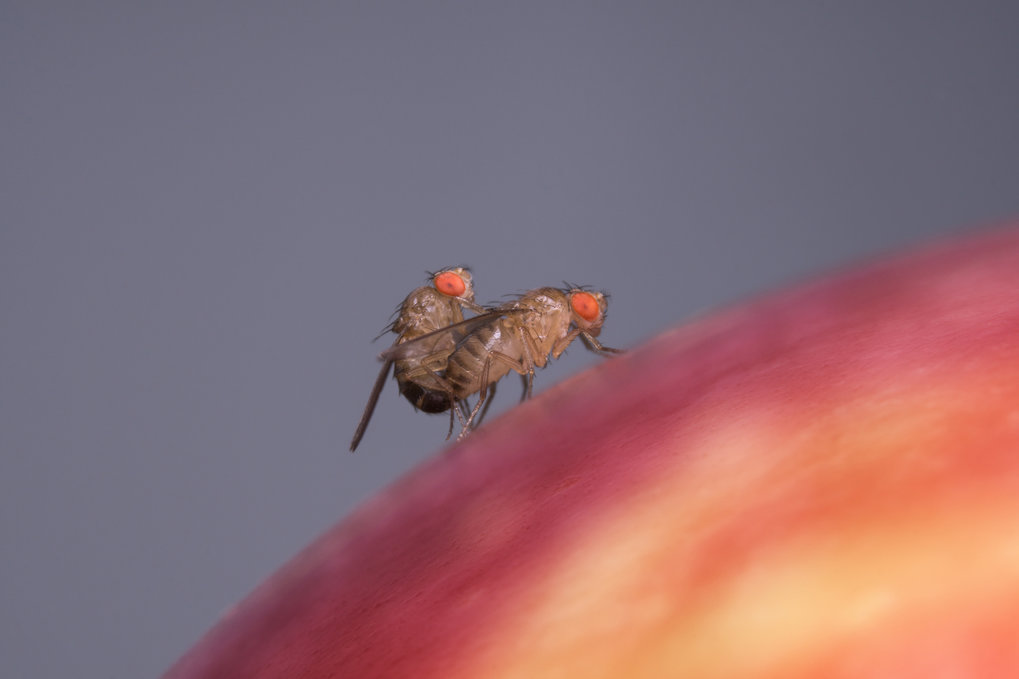 Food odour enhances male flies' attractiveness