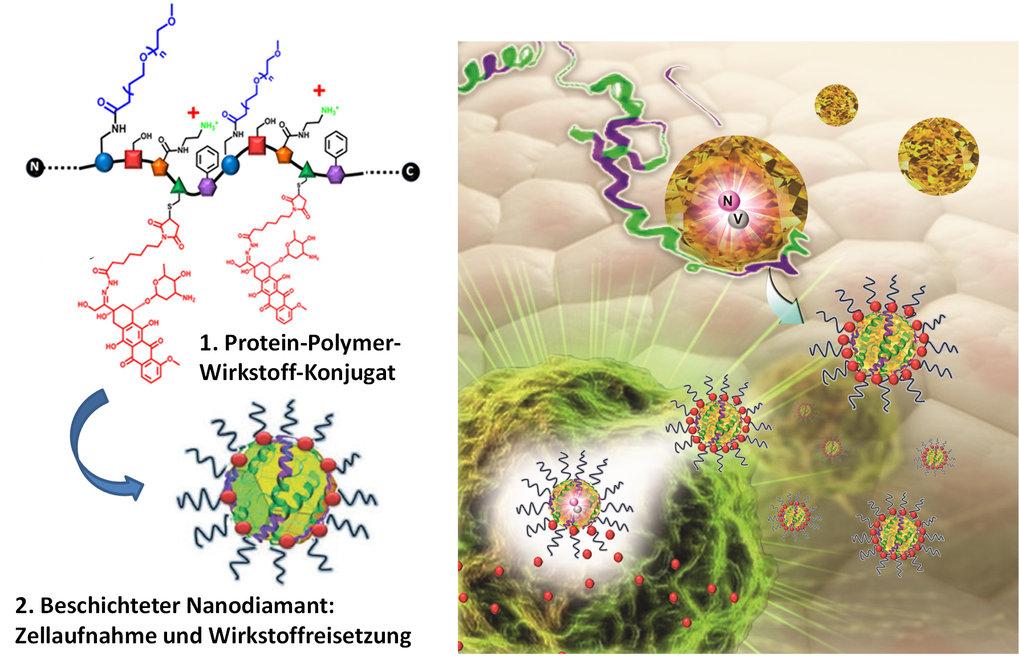 Abb.2: Protein-Polymer mit Krebswirkstoffen, welches Nanodiamanten beschichtet und stabilisiert. Zellaufnahme und Wirkstofffreisetzung der Nanodiamant