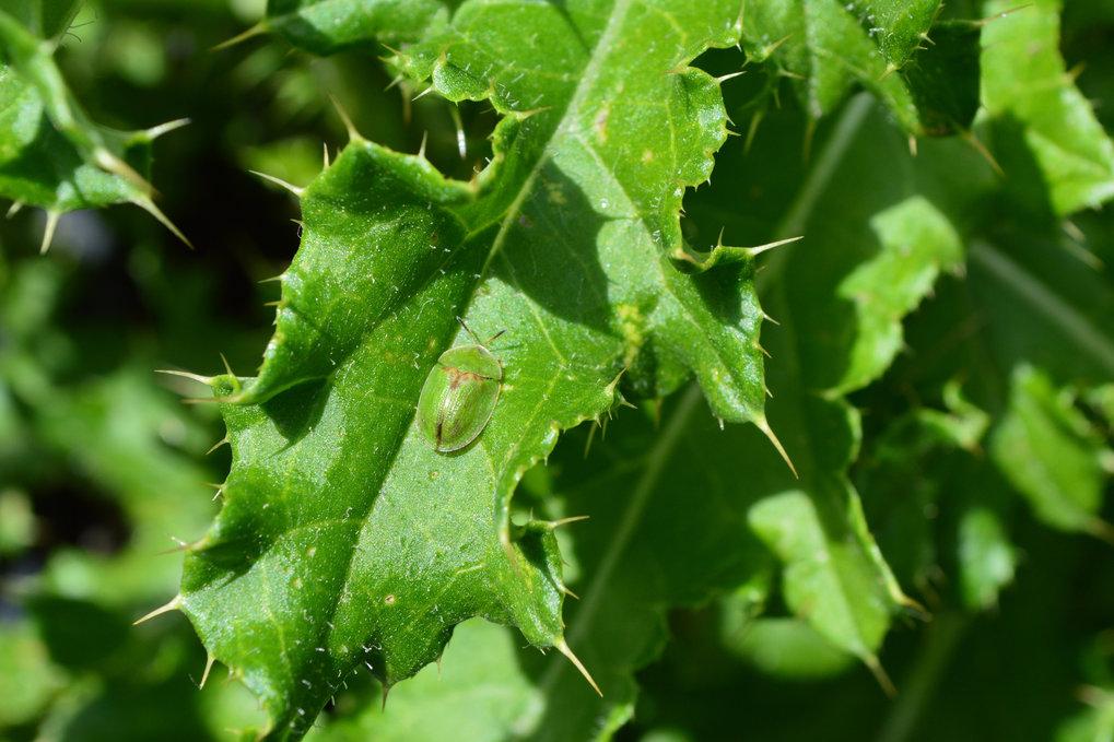 Die bevorzugte Nahrungspflanze des Distelschildkäfers (<em>Cassida rubiginosa</em>) ist die Acker-Kratzdistel, ein weltweit gefürchtetes Unkraut im Ac