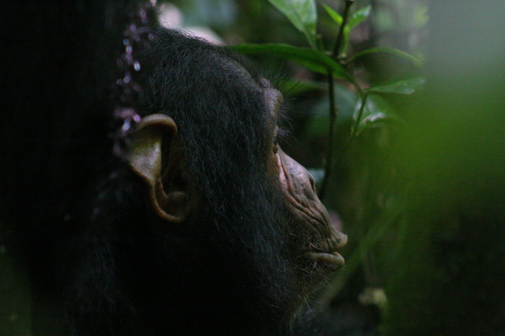 Chimpanzees fill another's knowledge gap