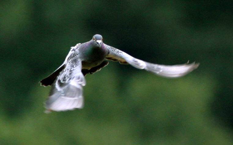How do pigeons find their way home?