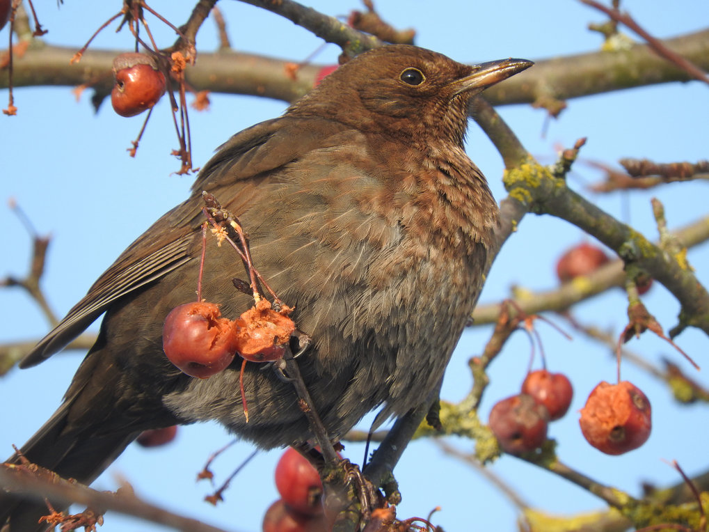 Some of the blackbirds living in Central Europe journey southwards in the autumn. New research shows that migrating bird species that winter in the so