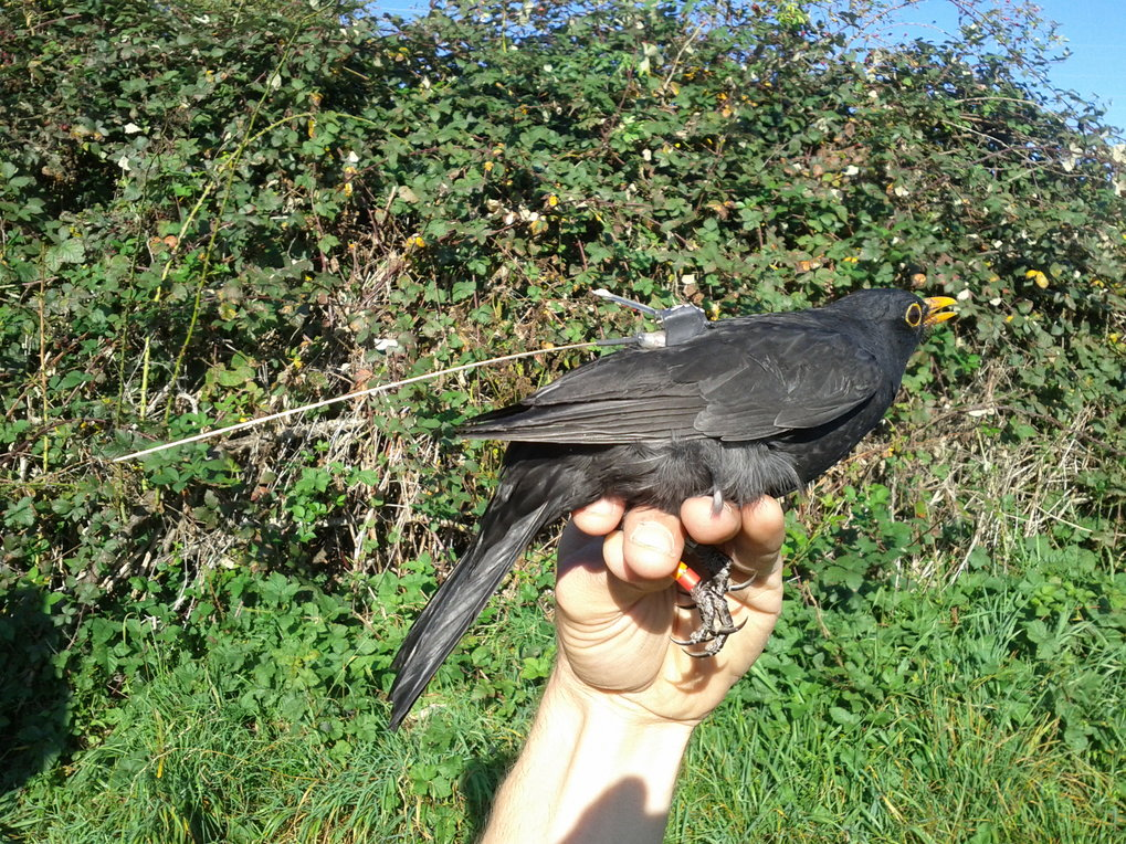 After attaching radio transmitters to the birds like a backpag, they release them again. Two 2 gramms in weight, the devices do not adversely affect t