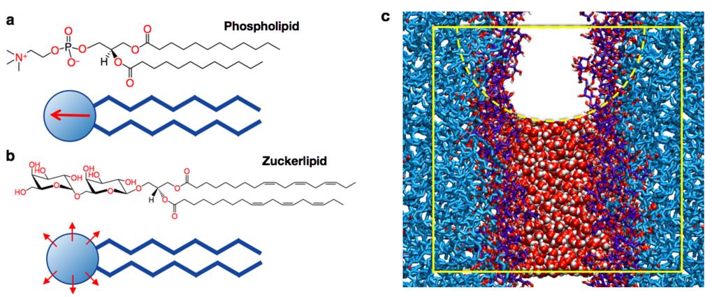 Abb. 2: (a und b) Chemische Strukturen eines Phospholipids (a) und eines typischen Zuckerlipids (b) als Vertreter zweier grundverschiedener in der Nat