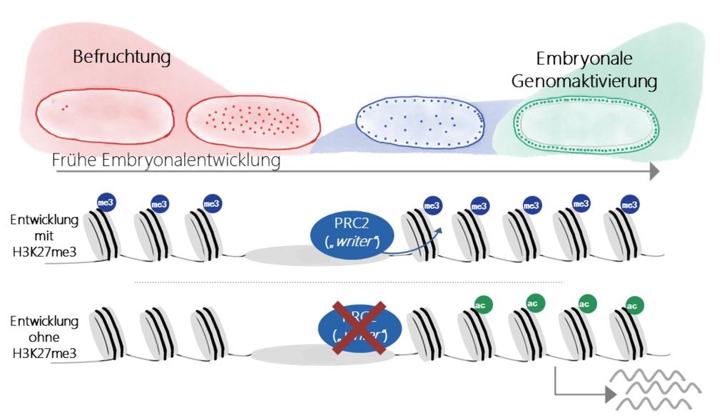 Abb. 2: Schematische Darstellung der frühen Drosophila melanogaster Embryonalentwicklung. Nach der Befruchtung (rot) teilen sich Kerne mitotisch bis z