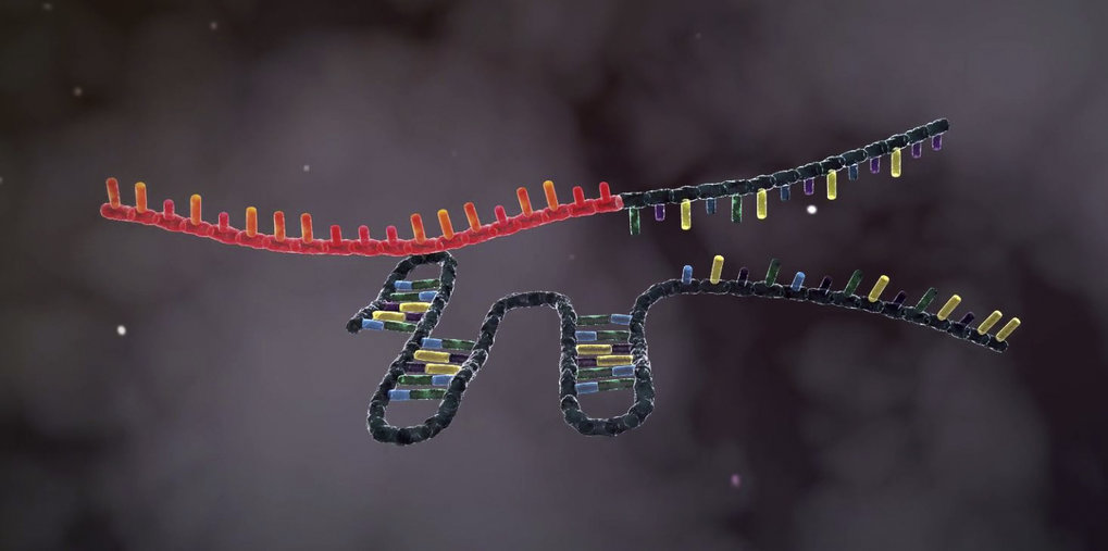 Functioning of CRISPR-Cas9