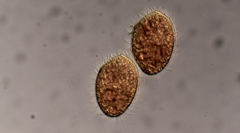 The predatory ciliate <em>Tetrahymena thermophila</em> feeds on bacteria.