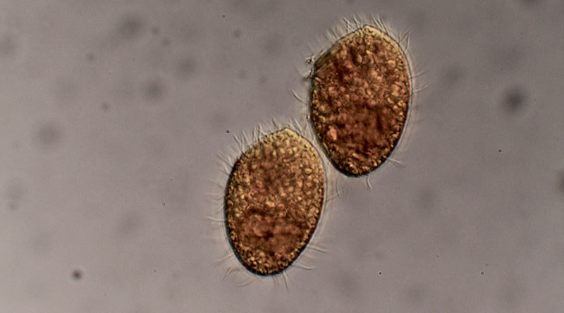 The predatory ciliate Tetrahymena thermophila feeds on bacteria.