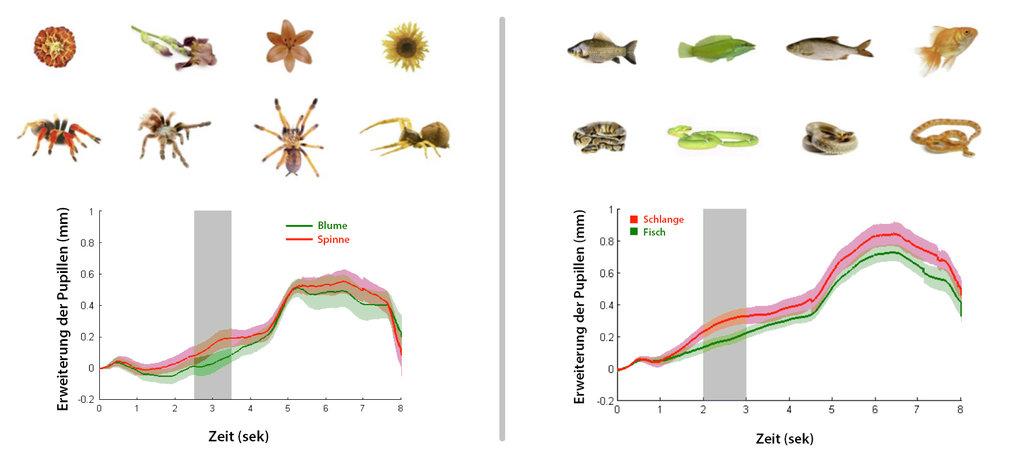 Abb. 1: Als die Babys statt einer Blume oder eines Fischs (ganz oben) eine Schlange oder Spinne gleicher Farbe und Größe (darunter) sahen, vergrößerte