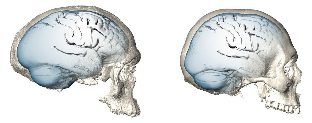 Langsame und späte Evolution des menschlichen Gehirns | Max-Planck ...