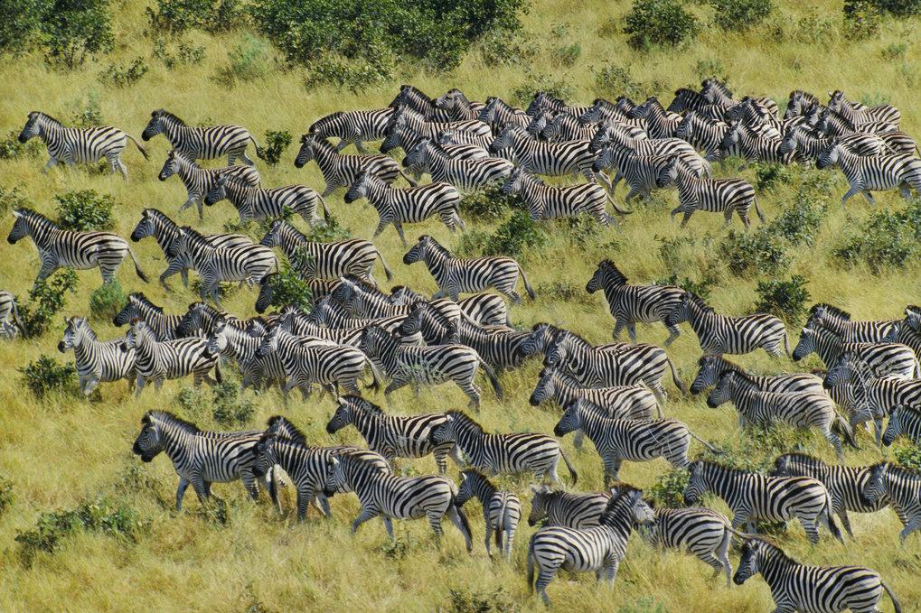 Zebras legen bis zu 500 Kilometer zurück - so weit wie kein anderes Säugetier auf der Erde. Menschen schränken den Bewegungsradius der Zebras und ande