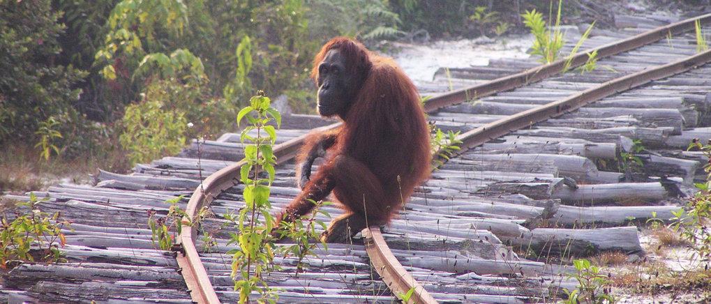 Dramatic decline of Bornean orangutans