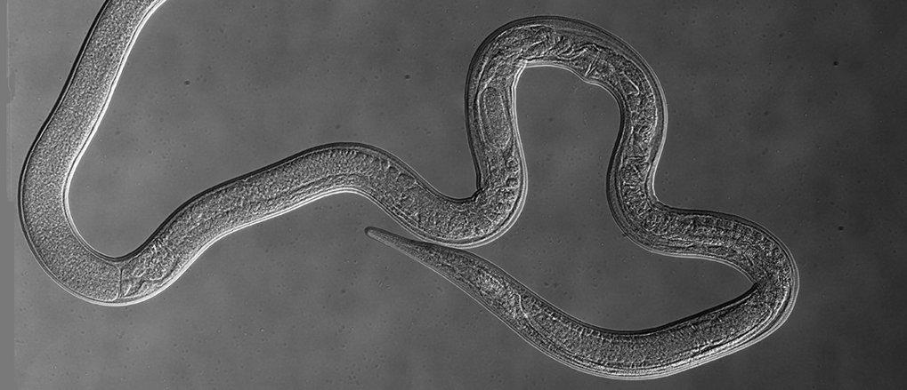 In vielen tropischen und subtropischen Ländern können Würmer leicht von Haustieren auf den Menschen übertragen werden