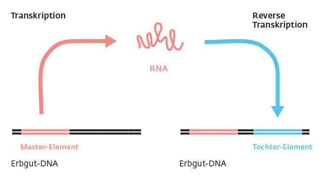 "<p class=""mpgbu"">For retrotransposons to be able to insert copies of themselves into the genome, their DNA, termed the master element, is first transc"