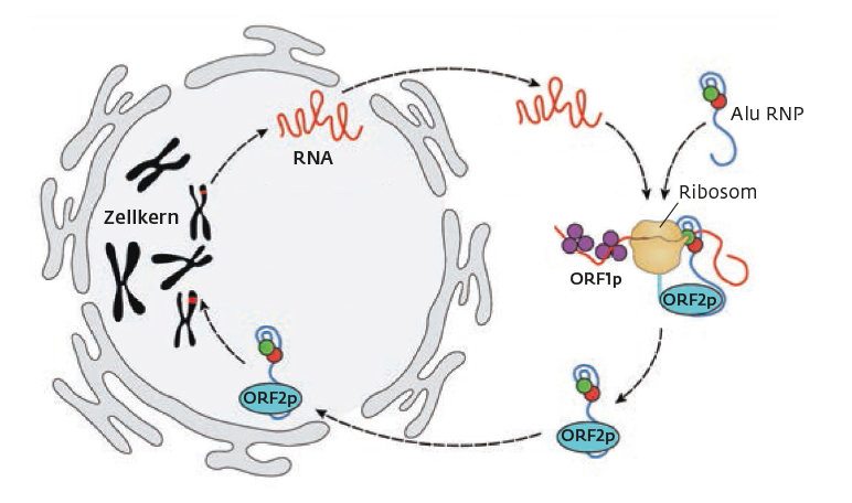 A parasite attacks a parasite: A complex consisting of Alu RNA and proteins (Alu-RNP) recognizes the ribosomes that are currently translating the RNA
