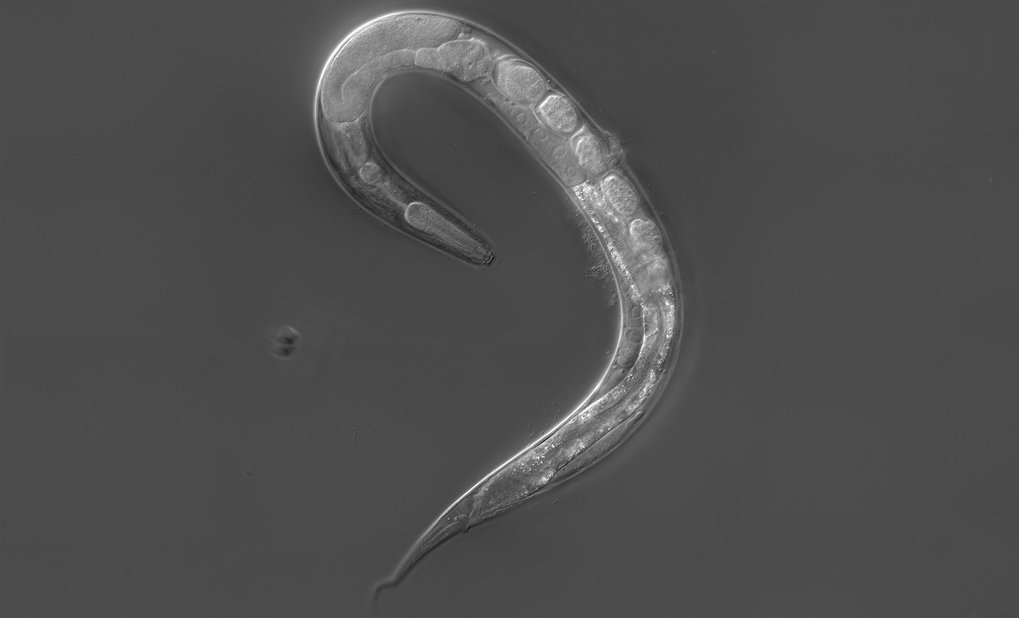 Free-living Strongyloides papillosus female, about one millimeter long: The mouth opening with the esophagus is at the top end. The intestine is conne