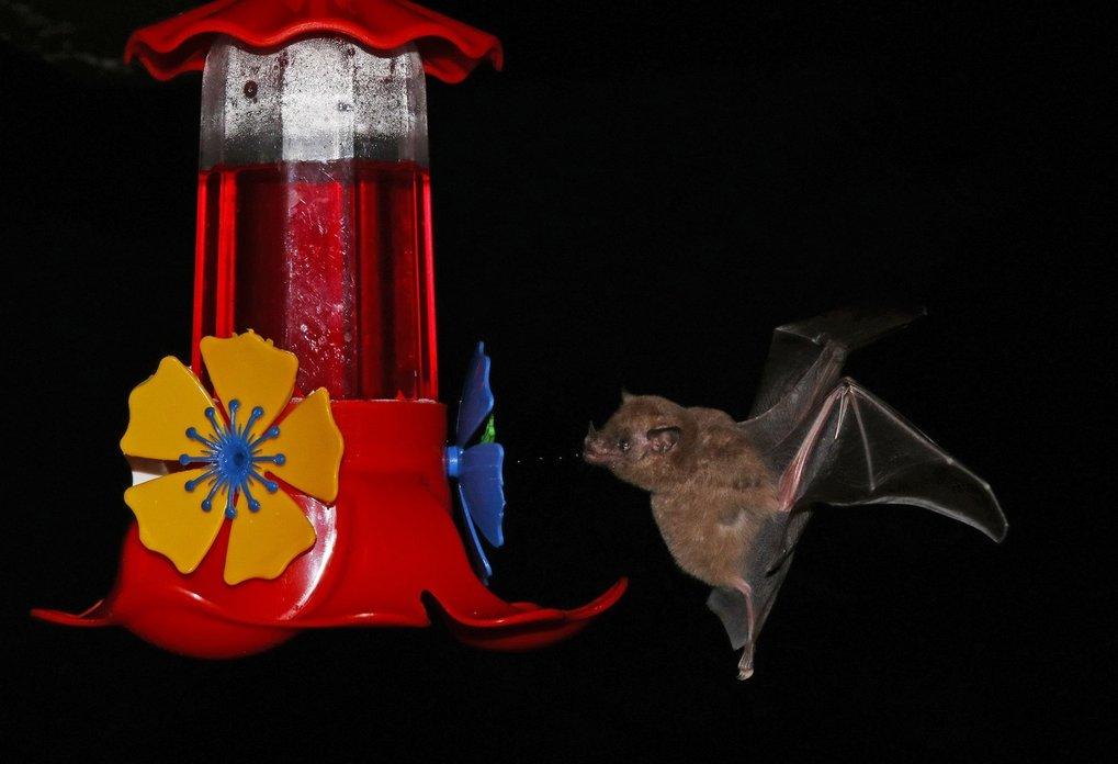 Früchtefressenden Fledermaus-Arten fehlen Gene, die die Umwandlung von Zucker im Körper hemmen – eine Voraussetzung für eine zuckerreiche Ernährung.