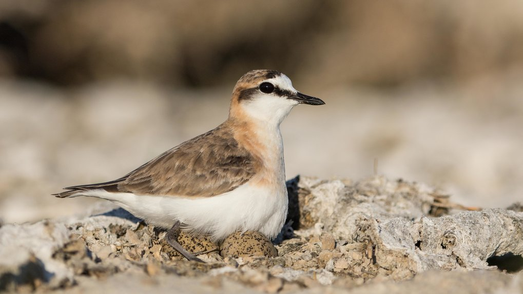 Kittlitz's plover (Charadrius pecuarius) is native to Madagascar, amongst other places. It prefers open grasslands or riverbanks as habitats. The bird