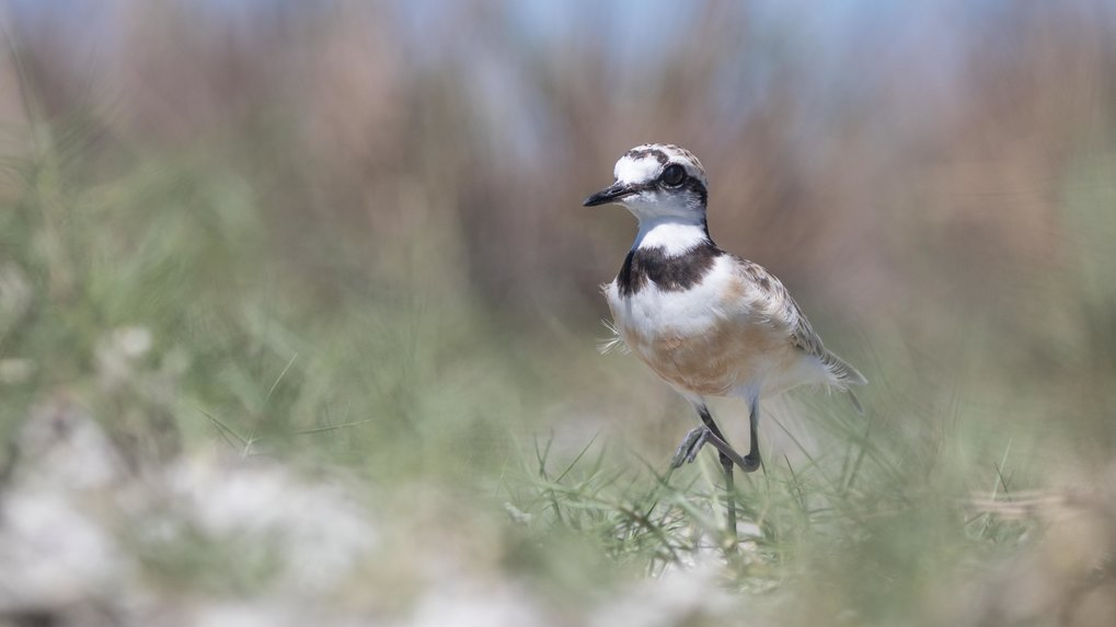"The <span class=""st"">Madagascan plove</span>r (Charadrius thoracicus) is exclusively native to Madagascar. It also prefers open grasslands as a habita"