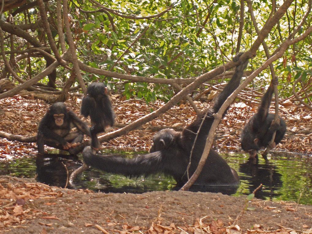 In der Savanne und Grassavanne lebende Schimpansen haben ihr Verhalten an die schwierigen Lebensbedingungen angepasst: Um sich vor Überhitzung zu schü